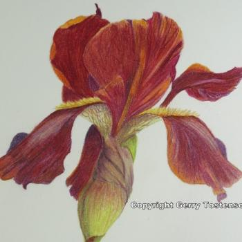 Burgundy Iris by Gerry Tostenson