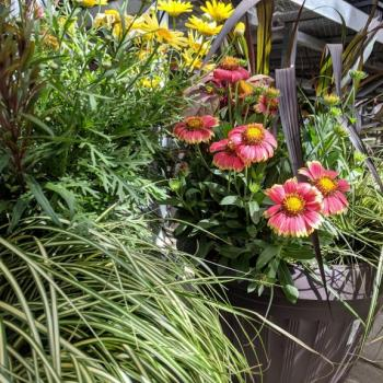 Grasses and flowers in annual containers