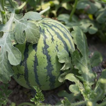 Watermelon in vine