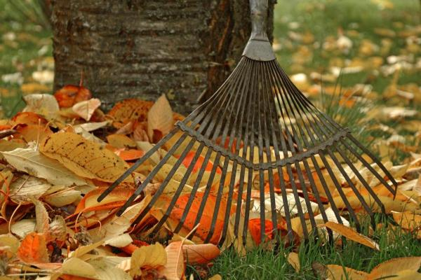 A rake, cleaningup fallen leaves.